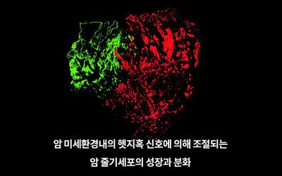 생명 신근유 교수팀, 암 성장 막는 '헷지혹'으로 방광암 잡는다
